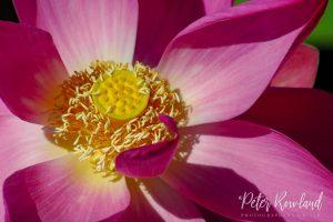 Lotus Lily flowers in Yellow Water lagoon Kakadu
