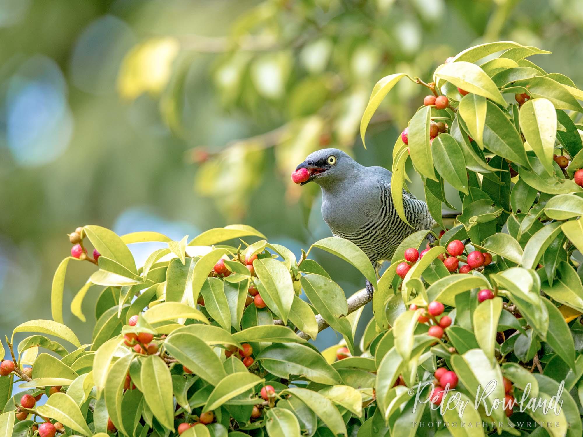 Barred Cuckoo-shrike feeding on red fruits of fig tree