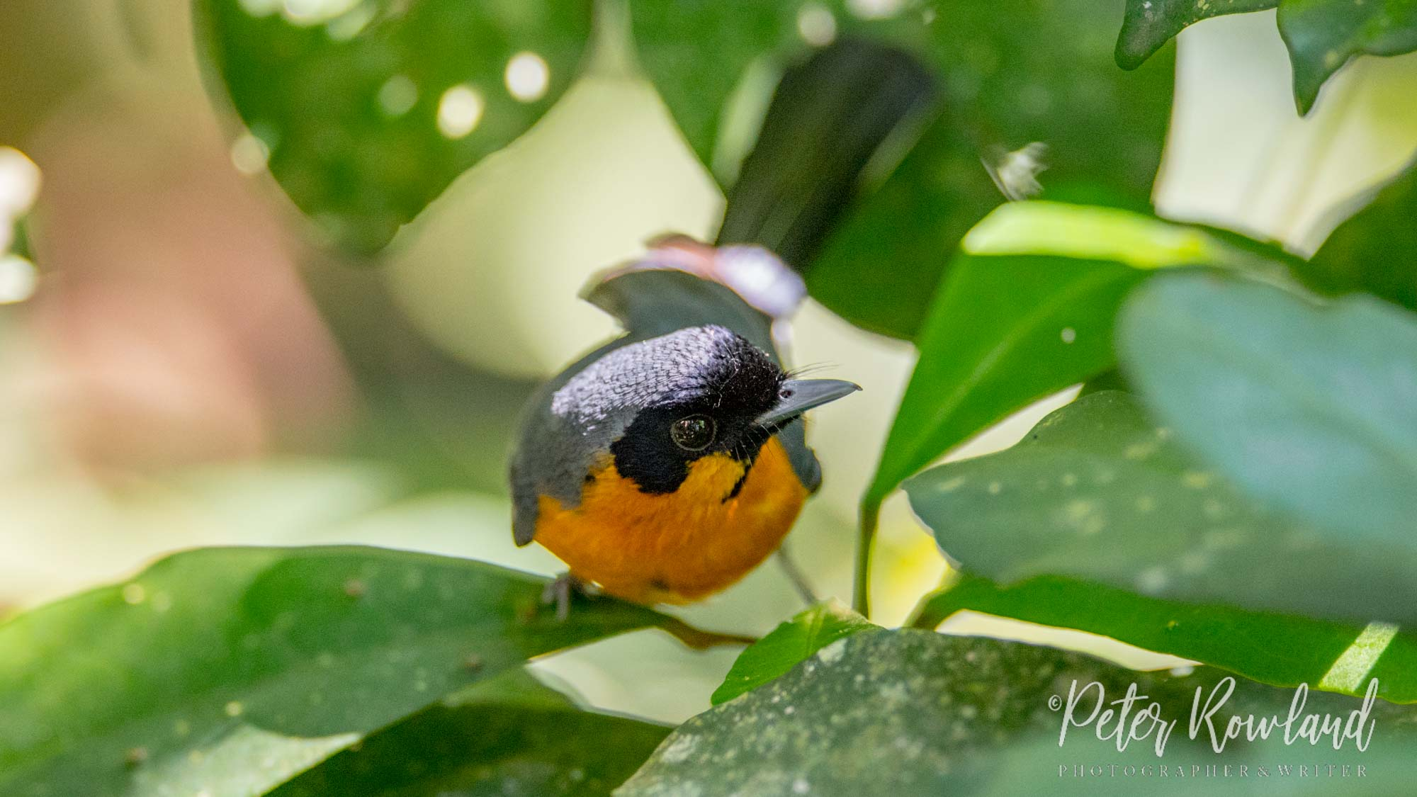 A Spectacled Monarch on a leaf