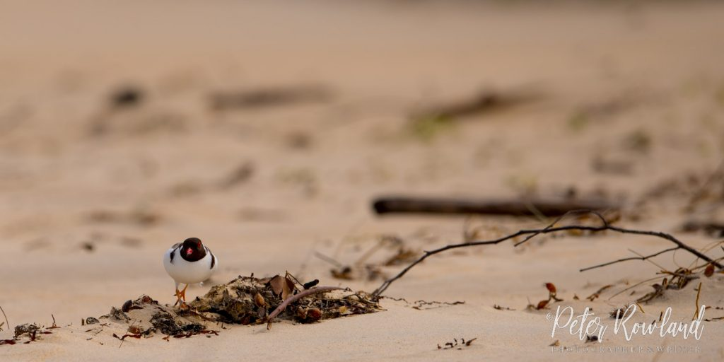 A Hooded Plover walking along the beach