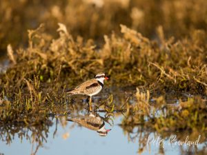 Black-fronted Dotterel standing in shallow wetland with full body reflection in water