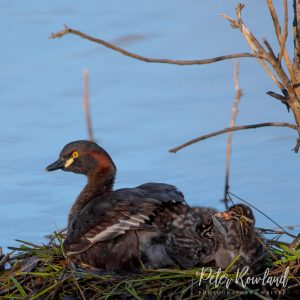 An Australasian Grebe and chicks in a floating nest on a dam