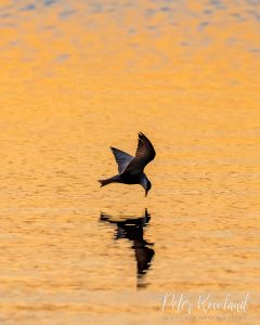 A Whiskered Tern Flying low over the water with an insect it has caught