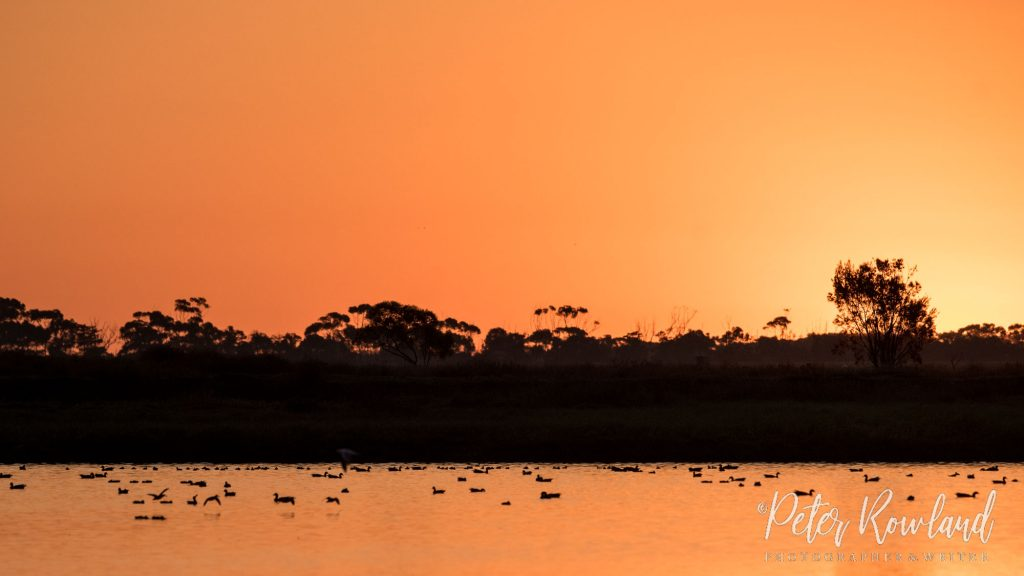 A number of Pink-eared Ducks swimming on a pond at sunset