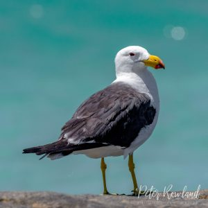 A Pacific Gull perched atop a stone wall
