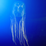 Box Jellyfish (Chironex spp.)