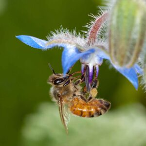 European Honeybee on a blue flower