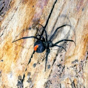 Red-backed Spider on a piece of wood