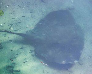 Smooth Stingray swiming under water