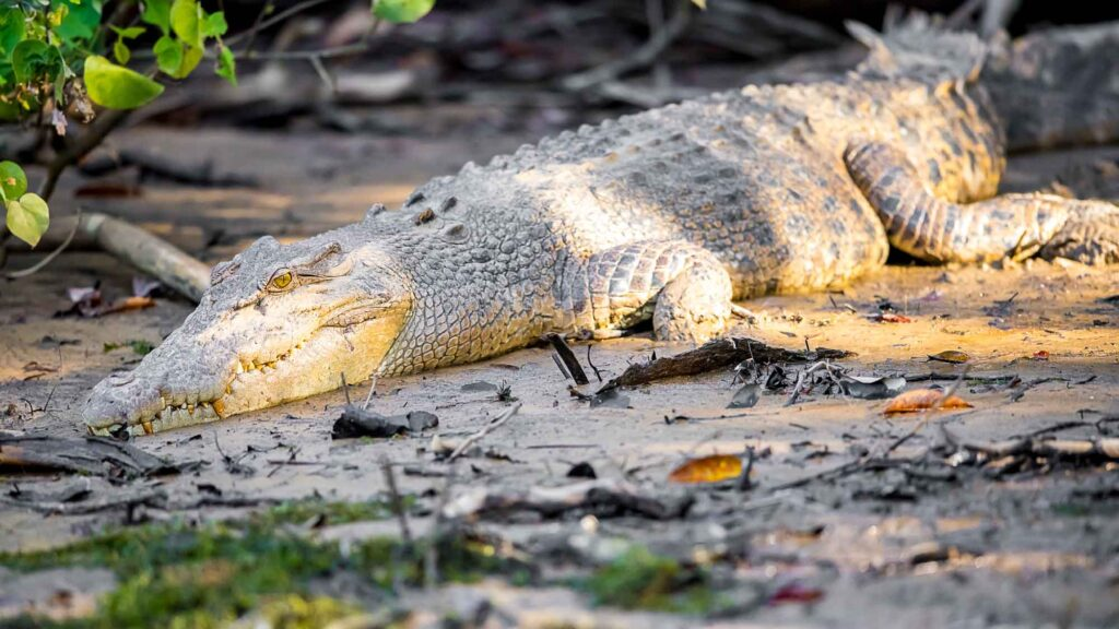 A female Saltwater (or Estuarine) Crocodile resting on a muddy riverbank in dappled sunlight under some mangroves