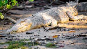 A female Saltwater (or Estuarine) Crocodile ( Crocodylus porosus) resting on a muddy riverbank in dappled sunlight under some mangroves