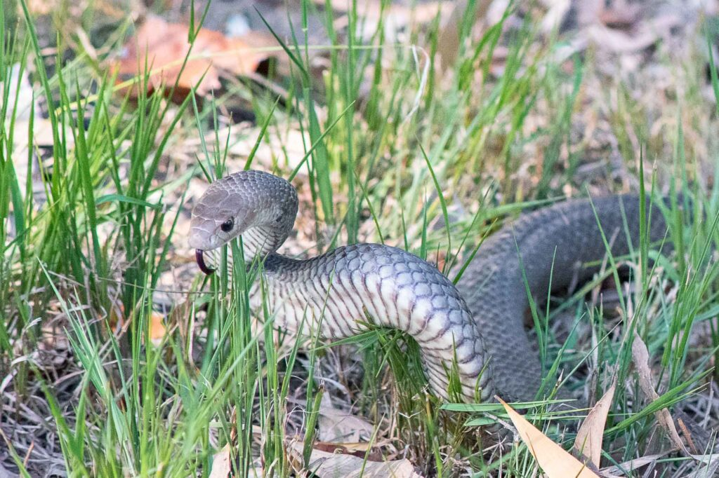 An Eastern Brown Snake on the grass making a threatening display.