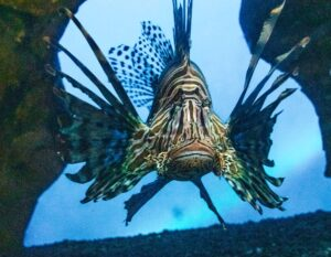 Lionfish in an aquarium