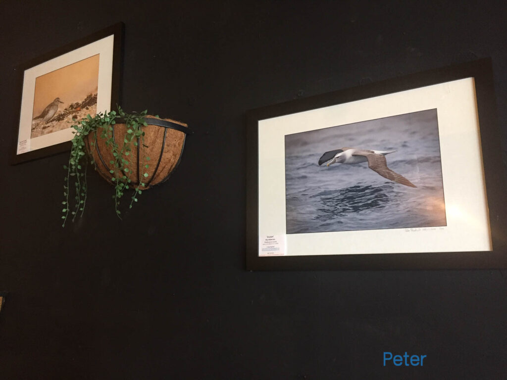 Framed photograph of Shy Albatross on display