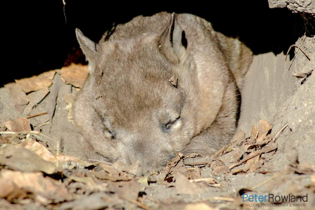 A Southern Hairy-nosed Wombat in captivity. Sleeping in its enclosure.