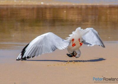 Silver Gull (Chroicocephalus novaehollandiae) seizing pilchard in flight, with head in upside-down position. [Photographed by Peter Rowland]