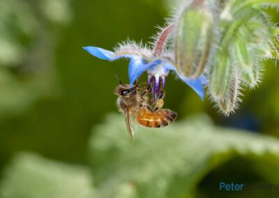 European Honeybee (Apis melifera) hanging upside down while pollinating a blue flower. [Photographed by Peter Rowland]