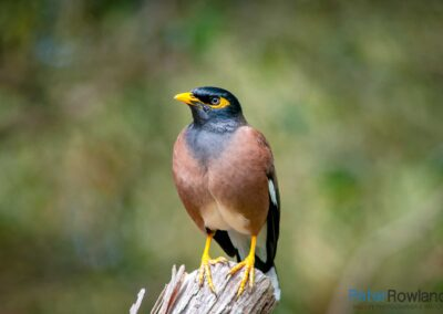 Common Myna (Acridotheres tristis) perched on tree stump. [Photographed by Peter Rowland]