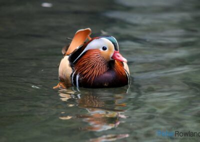 A Mandarin Duck (Aix galericulata) sitting on the surface of a pond, with reflections in water. [Photographed by Peter Rowland]