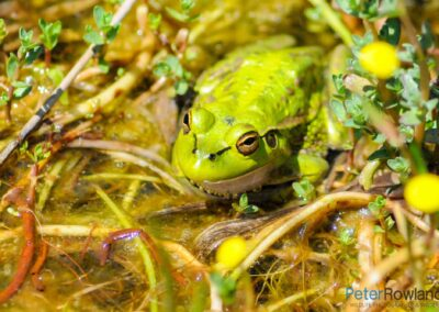 A Southern Bell or Growling Grass Frog (Litoria raniformis) on a pond surface