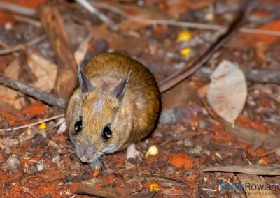 Spinifex Hopping-mouse (Notomys alexis) foraging amongst leaves on sandy desert ground. [Photographed by Peter Rowland]