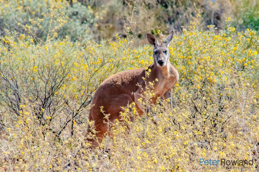 A male Red Kangaroo standing in a patch of bushes with yellow flowers