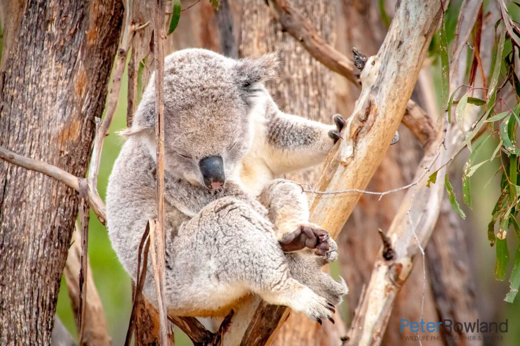 Koala sleeping in fork of tree, holding on with one paw