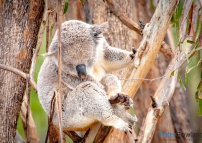 Koala (Phascolarctos cinereus) sleeping in fork of tree, holding on with one paw. [Photographed by Peter Rowland]