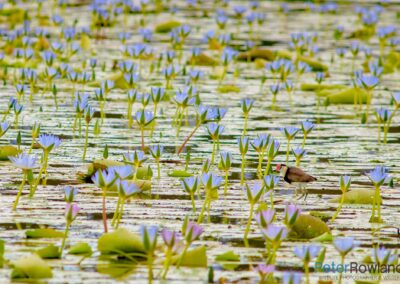 Comb-crested Jacana standing in water lily pad surrounded by water-liles. [Photographed by Peter Rowland]