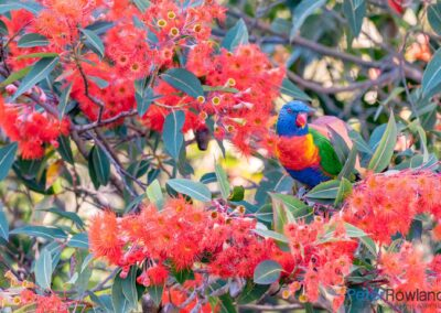 A Rainbow Lorikeet among rich red flowers. [Photographed by Peter Rowland]