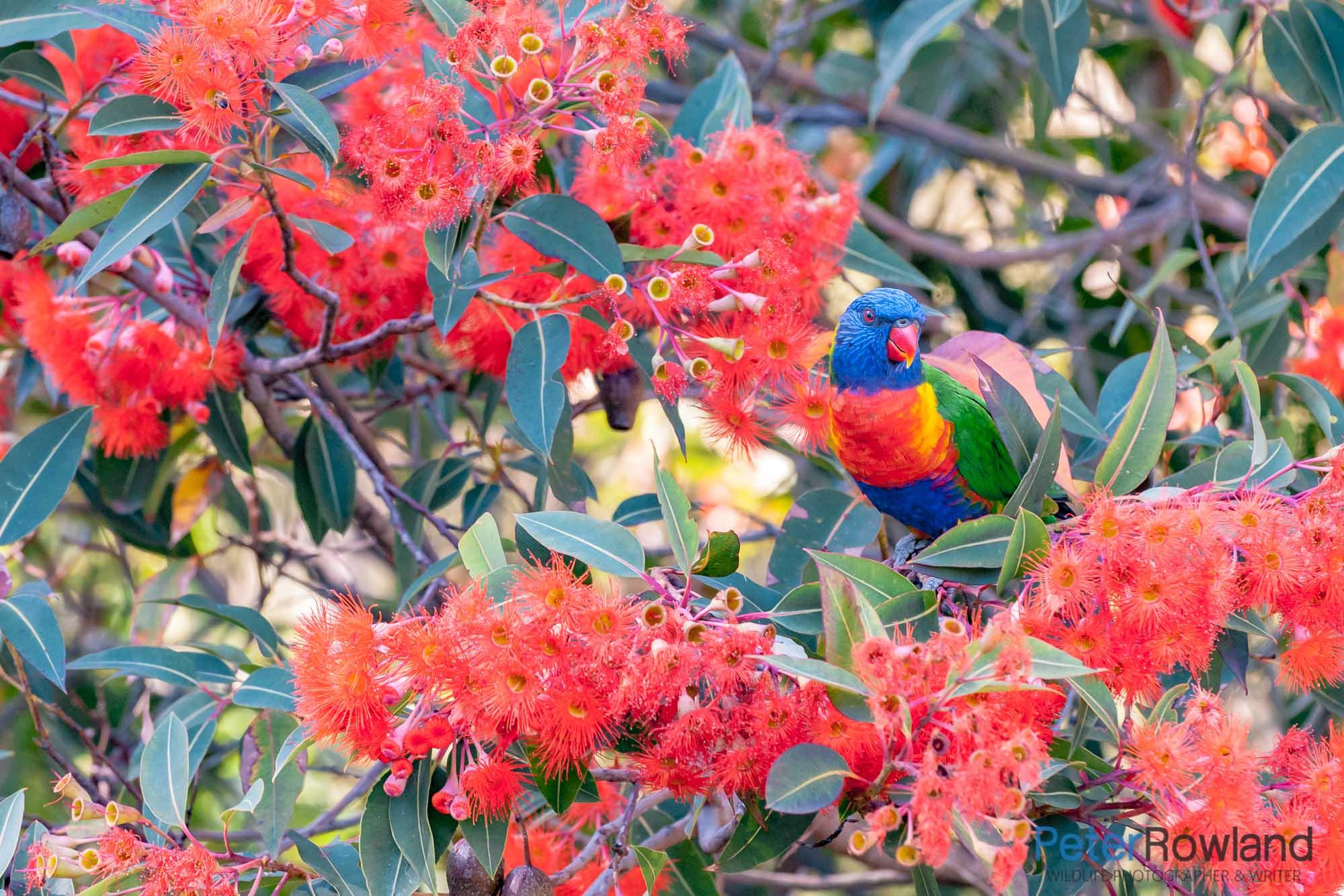 A Rainbow Lorikeet among rich red flowers