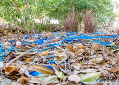 A Satin Bowerbird Bower with assorted blue decorations. [Photographed by Peter Rowland]