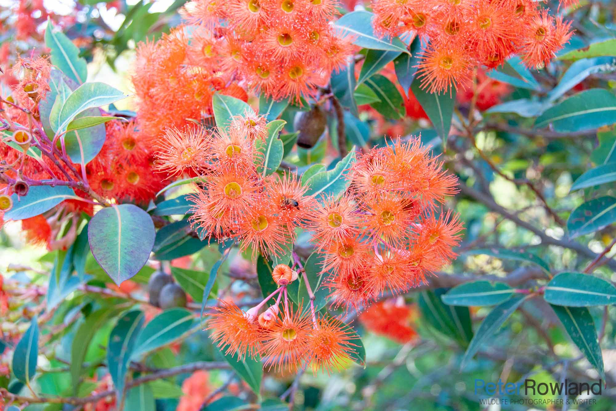 Close up of the flower blossoms on an albany Red Flowering Gum. [Photographed by Peter Rowland]