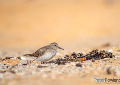 A vagrant White-rumped Sandpiper (Calidris fuscicollis) sheltering behind seaweed in a sand scrape on a beach. [Photographed by Peter Rowland]