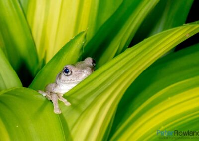 Peron's Tree Frog (Litoria peronii) hiding among the leaves of a Happy Plant. [Photographed by Peter Rowland]