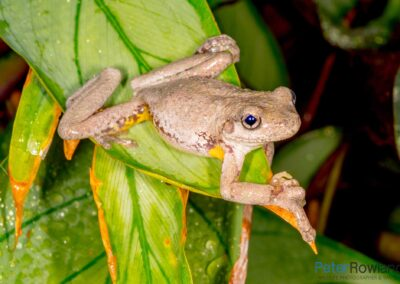 A Peron's Tree Frog on a leaf. [Photographed by Peter Rowland]