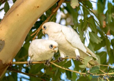 A pair of Little Corellas (Cacatua sanguinea) perched in a box tree. [Photographed by Peter Rowland]