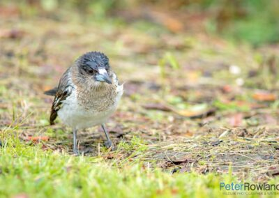 Immature Pied Butcherbird (Cracticus nigrogularis) foraging on the ground in the rain. [Photographed by Peter Rowland]