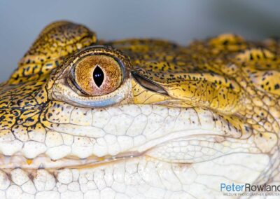 Close up of eye of a young Freshwater (or Johnston's) Crocodile (Crocodylus johnstoni). [Photographed by Peter Rowland]