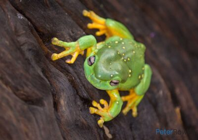 Magnificent Tree Frog (Litoria splendida) climbing a rippled piece of wood. [Photographed by Peter Rowland]
