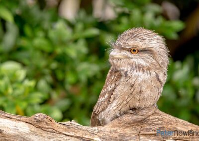 Tawny Frogmouth (Podargus strigoides) perching on low dead branch with green leaves in the background. [Photographed by Peter Rowland]