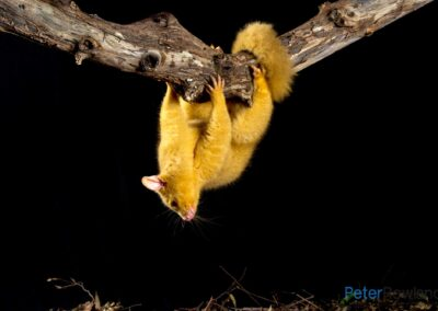 [Golden Phase] Common Brush-tailed Possum (Trichosurus vulpecula) hanging upside down from a tree branch with leaf litter below. [Photographed by Peter Rowland]
