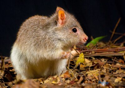 Rufous Bettong on leafy ground. [Photographed by Peter Rowland]
