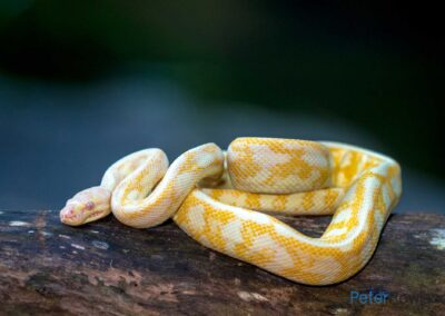 Albino Northern Carpet Python on fallen tree trunk. [Photographed by Peter Rowland]
