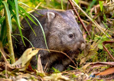 A Bare-nosed or Common Wombat on the bush floor coming into a clearing. [Photographed by Peter Rowland]