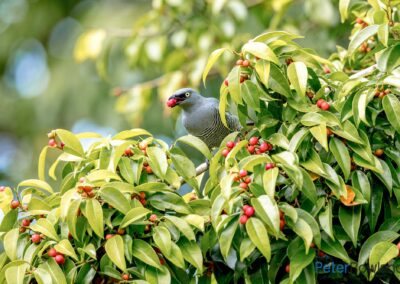 Barred Cuckoo-shrike (Coracina lineata) feeding on red fruits of fig tree. [Photographed by Peter Rowland]