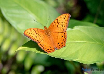 A Cruiser Butterfly perched on a large green leaf. [Photographed by Peter Rowland]