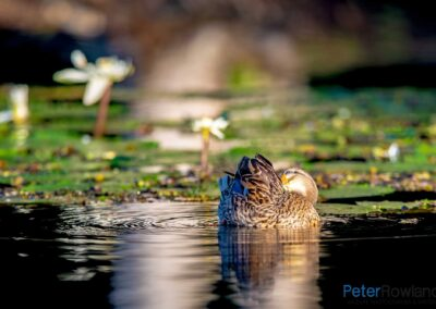 Hybrid Pacific Black Duck and Mallard preening on the surface of a pond with water lilies in background and reflection in water. [Photographed by Peter Rowland]