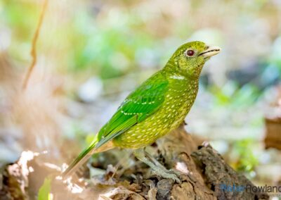 A Green Catbird perched on the ground in a rainforest. [Photographed by Peter Rowland]