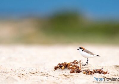 Red-capped Plover (Charadrius ruficapillus) standing on sandy seaweed mound on beach. [Photographed by Peter Rowland]